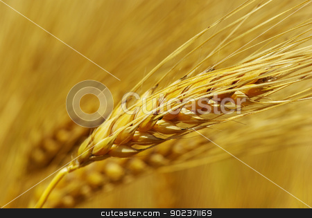 grain stock photo, Yellow grain ready for harvest growing in a farm field by Vitaliy Pakhnyushchyy