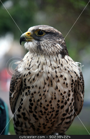 Eagle hawk stock photo, Eagle hawk by Zvonimir Atletic