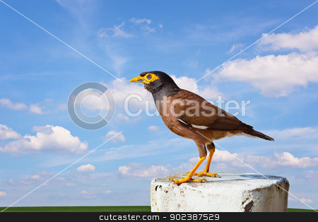 Common mynah bird stock photo, Common mynah bird on cloudy sky background by Alexey Romanov