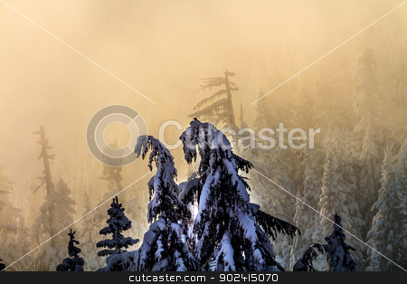 Snow Covered Evergreen Trees in Fog Abstract at Snoqualme Pass W stock photo, Snow Covered Trees Twisted Into Weird Shapes in Fog on Snow Mountain at Snoqualme Pass Washington. by William Perry