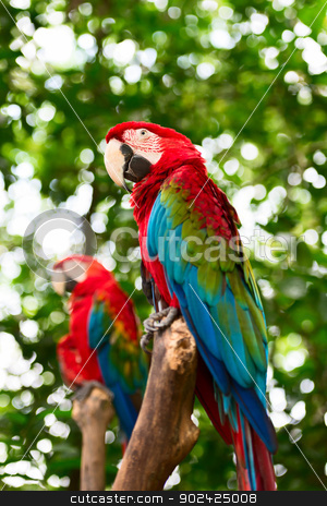 Big macaw parrots in nature stock photo, Two big macaw bird parrot (Ara ararauna) sitting on log with green leaves on background by Iryna Rasko