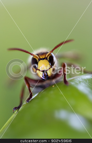 mandibles stock photo, Close-up (macro) of a giant hornet by Siloto