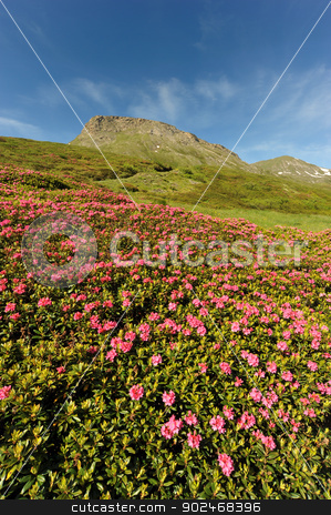 Rhododendron in the mountain stock photo, Rhododendron flowers over the Mont Cenis (France) by Alessandro D'Ambrosio