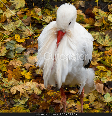White stork, Ciconia ciconia stock photo, White stork resting, Ciconia ciconia seen from above with colored leaves in background by Andreas Altenburger