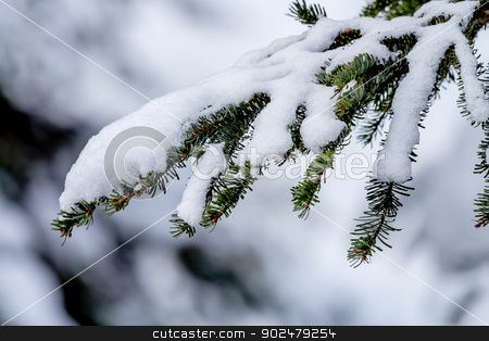 Snow Covered Evergreen Tree Branch at Snoqualme Pass Washington stock photo, Snow Covered Evergreen Tree Branch on Snow Mountain at Snoqualme Pass Washington. by William Perry