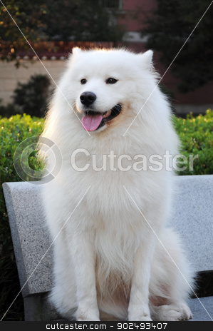 Samoyed Pictures stock photo, Samoyed Pictures, Samoyed, pictures, natural, animals, animals photo by Don Joe