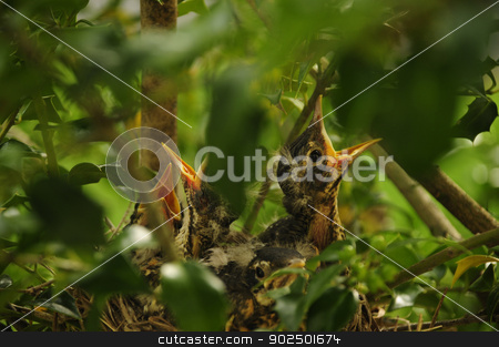 Baby birds calling from nest stock photo, Baby birds calling from nest in a tree branch by J.R. Bale