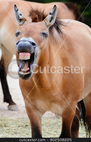 Przewalski Horse stock photo, Portrait Of The Laughing Przewalski Horse by Sergej Razvodovskij