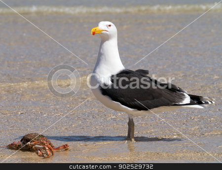 A big Great Black-backed Gull guarding a crab. stock photo, A big Great Black-backed Gull guarding a crab. by Stephen Rees