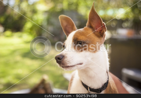 Cute Jack Russell Terrier stock photo, Cute Jack Russell Terrier Look On. by Andy Dean