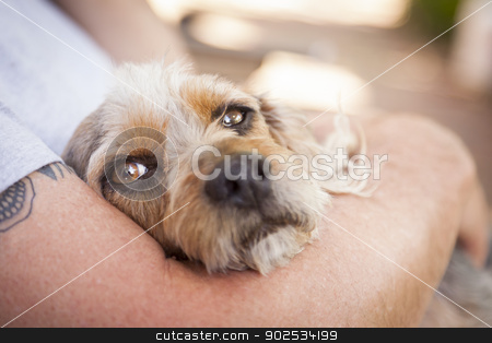Cute Terrier Puppy Look On As Master Holds Her stock photo, Cute Terrier Puppy Look On As Master Holds Her in His Lap. by Andy Dean