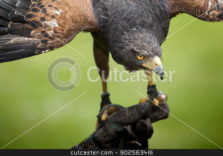 hawk bird stock photo, An image of a beautiful hawk bird by Markus Gann