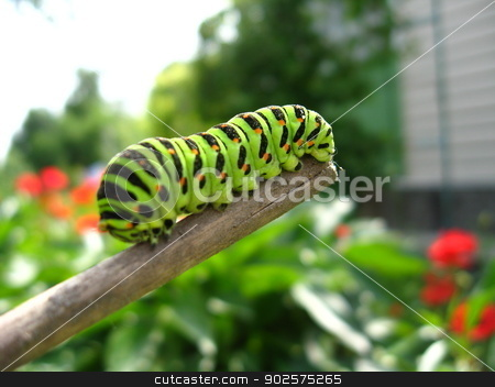 Caterpillar of the butterfly  machaon on the stick stock photo, image of caterpillar of the butterfly  machaon on the stick by Alexander Matvienko