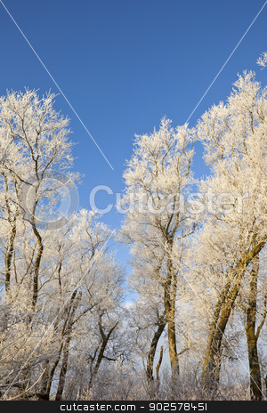 winter willow trees stock photo, a row of winter willow trees covered in frost under a clear blue sky by Mike Smith