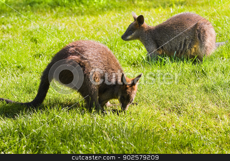 Swamp- or Black Wallabies eating grass stock photo, Swamp- or Black Wallabies eating grass in morning sunshine by Colette Planken-Kooij