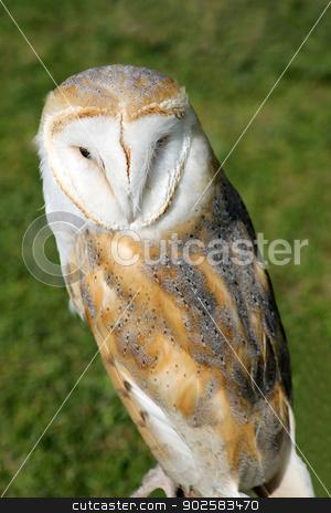 Snowy owl stock photo, Portrait of snowy owl with green grass background. by Martin Crowdy