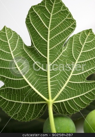 Fig Leave stock photo, Close up of the texture from a fig leave. by Henrik Lehnerer