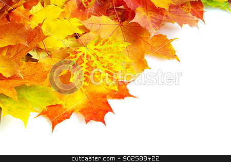 maple leaves stock photo, autumn maple leaves isolated on a white by Vitaliy Pakhnyushchyy