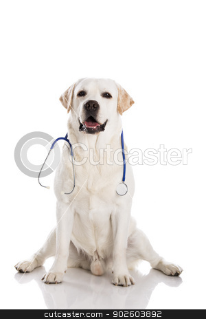 Vet dog stock photo, Beautiful labrador retriever with a stethoscope on his neck, isolated on white by ikostudio