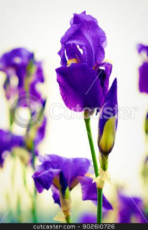 Dalmation iris stock photo, Dalmation iris blossom in the garden by Natalia Macheda