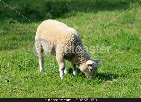 Lamb grazing in field stock photo, Side view of lamb grazing in field, spring scene. by Martin Crowdy