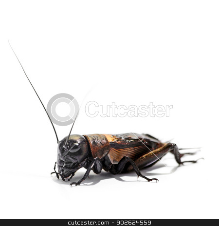 Cricket stock photo, Yellowish cricket over white background by Pedro Campos