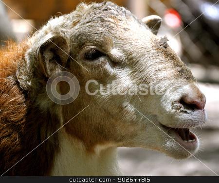 Waccatee Zoo - Goat Speaks stock photo, Waccatee Zoo - Goat Talks by