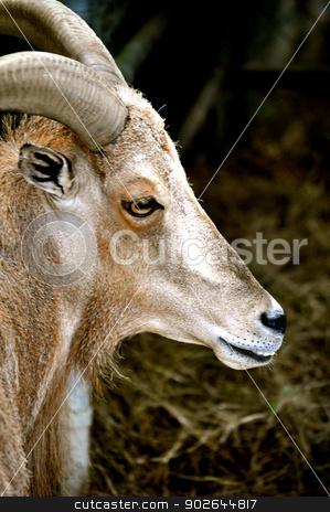 Waccatee Zoo - Goat Stares 2 stock photo, Waccatee Zoo - Goat Stares