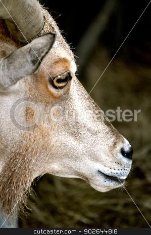 Waccatee Zoo - Goat Stares 3 stock photo, Waccatee Zoo - Goat stares