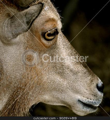 Waccatee Zoo - Goat Stares 4 stock photo, Waccatee Zoo - Goat Stares