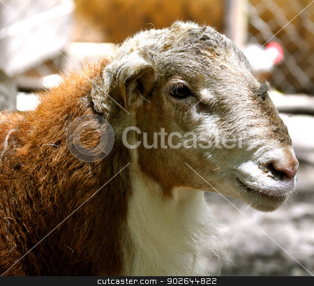 Waccatee Zoo - Goat Stares 6 stock photo, Waccatee Zoo - Goat Stares