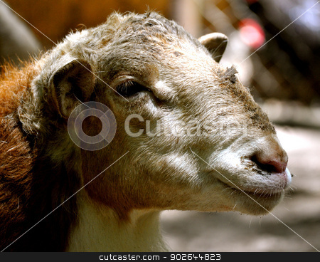 Your downloaded Waccatee Zoo - Goat Stares 7 stock photo, Waccatee