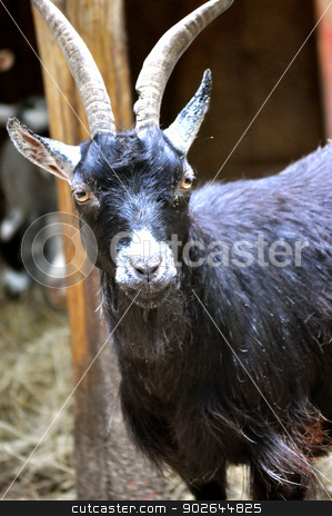 Your downloaded Waccatee Zoo - Goat Stares 9 stock photo, Waccatee