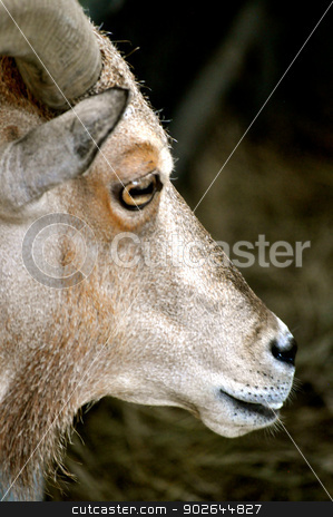 Your downloaded Waccatee Zoo - Goat Stares stock photo, Waccatee