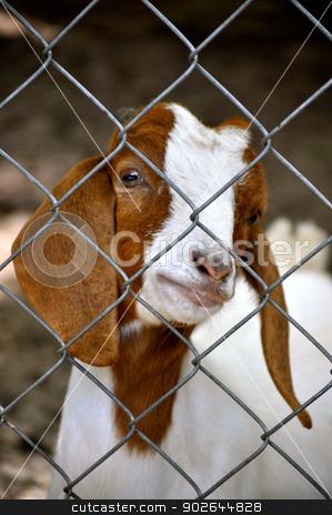 Waccatee Zoo - Goat behind fence stock photo, Waccatee Zoo - Goat