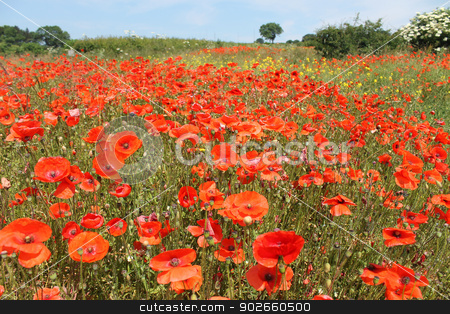 Field of red poppies stock photo, Field of bright red poppy flowers receding into distance. by Martin Crowdy