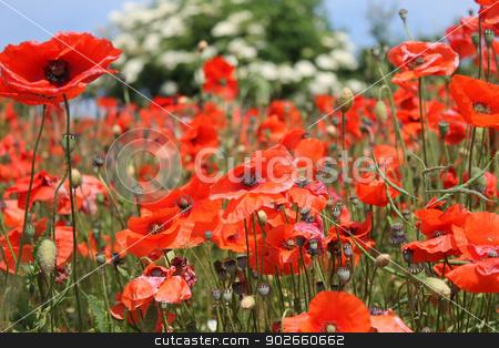 Red poppy flowers in bloom stock photo, Background of beautiful red poppy flowers in bloom, summer scene. by Martin Crowdy