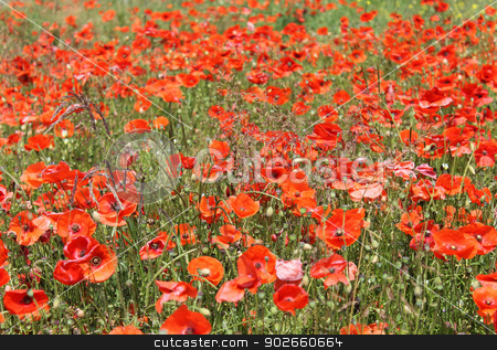 Red poppy flowers in summer stock photo, Red poppy flowers blooming in summer field. by Martin Crowdy