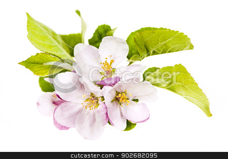 Pink apple blossoms stock photo, Closeup of pink apple blossoms isolated on white background by Elena Elisseeva