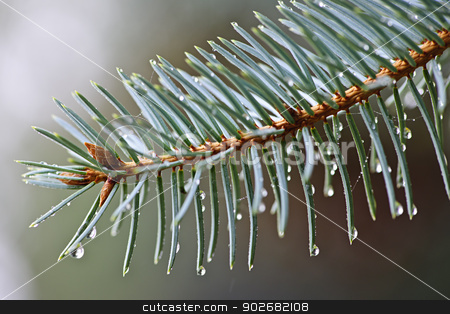 Spruce needles with water drops stock photo, Closeup of blue spruce tree branch with needles and dew drops by Elena Elisseeva