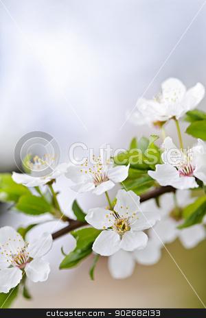 White cherry blossom flowers stock photo, CLoseup of white spring cherry blossom flowers on branch by Elena Elisseeva