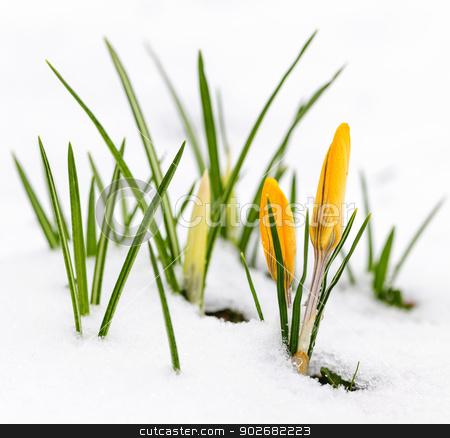 Crocuses in snow stock photo, Yellow crocus flowers growing in snow during spring by Elena Elisseeva