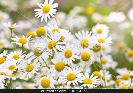 Chamomile flowers stock photo, Flowering chamomile growing in summer meadow close up by Elena Elisseeva