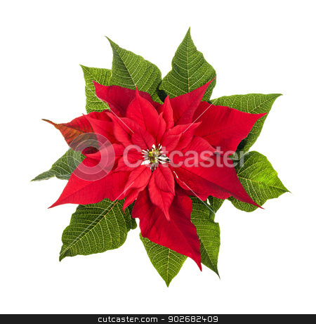 Christmas poinsettia plant isolated on white stock photo, Red and green poinsettia plant for Christmas isolated on white background from above by Elena Elisseeva