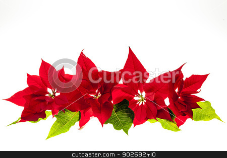 Arrangement with Christmas poinsettias stock photo, Christmas arrangement with red poinsettia plants isolated on white background by Elena Elisseeva