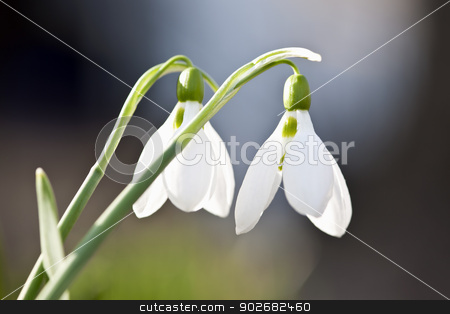 Spring Snowdrops stock photo, Closeup of white spring snowdrops with delicate green stems by Elena Elisseeva