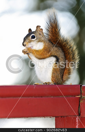 Tree squirrel eating peanut on red railing stock photo, Tree squirrel eating nut sitting on wooden red railing by Elena Elisseeva