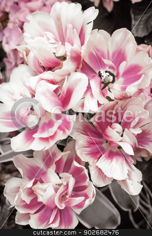 Pink and white tulips stock photo, Pink and white tulips flowers close up by Elena Elisseeva