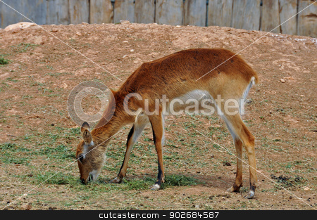lechwe antelope stock photo, Lechwe brown antelope feeding on grass. Herbivorous animal. by sirylok