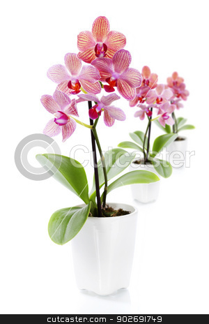 Pink orchids in a white flowerpots